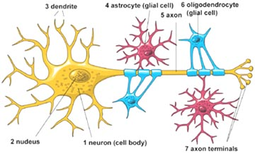Astrocyte Cell Diagram